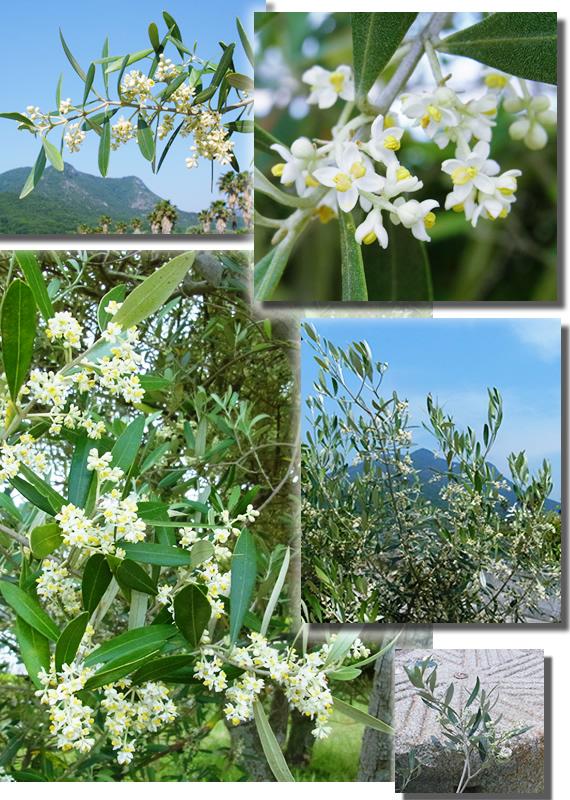 Olive Flower 2016